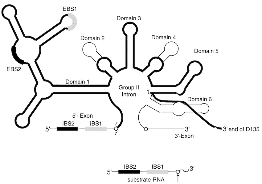 Schematic secondary structure of the D135 ribozyme. D135