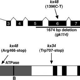 (PDF) Function of the Caenorhabditis elegans ABC