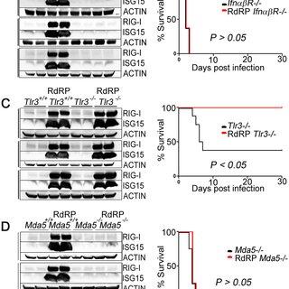 RdRP mice display highly augmented antiviral defenses. (A