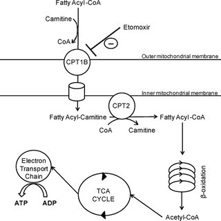 (PDF) Beta-Oxidation Is Essential for Mouse Oocyte