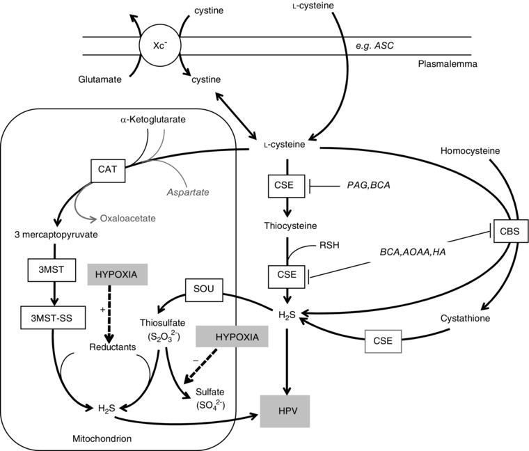 Pathways and inhibitors of sulphide synthesis relevant to