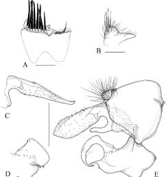 sphegina asiosphegina bispinosa brunetti 1915 india a sternum [ 850 x 957 Pixel ]