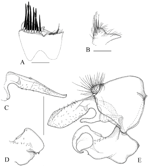 small resolution of sphegina asiosphegina bispinosa brunetti 1915 india a sternum