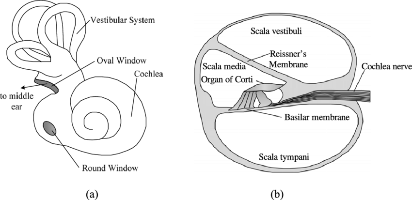 blank diagram of the cochlea