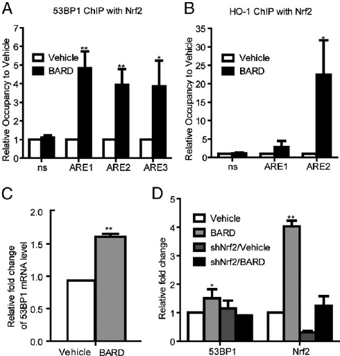 Nrf2 increases 53BP1 expression by BARD treatment. ChIP