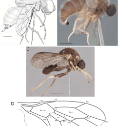schlingeromyia grimaldi hauser and related genera a schlingeromyia download scientific diagram [ 850 x 1067 Pixel ]