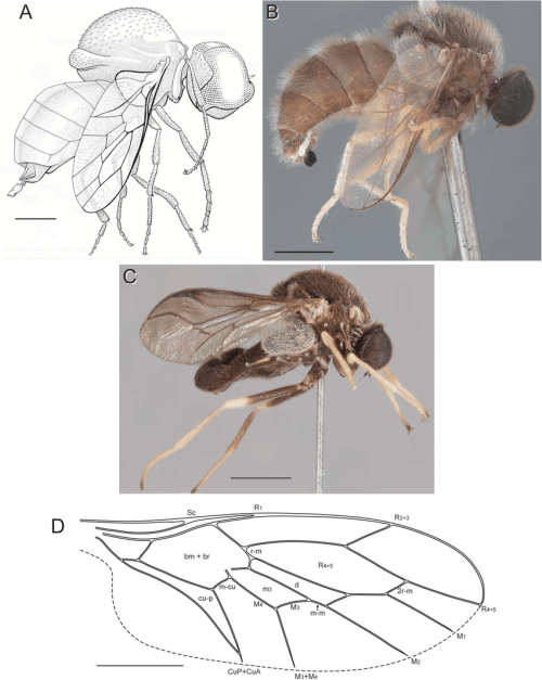 small resolution of schlingeromyia grimaldi hauser and related genera a schlingeromyia download scientific diagram