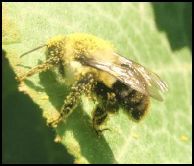 bumble bee diagram 1967 dodge dart wiring common eastern covered in pumpkin pollen download