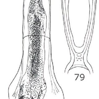 Figuras 90-91. Callosobruchus maculatus, vista ventral de