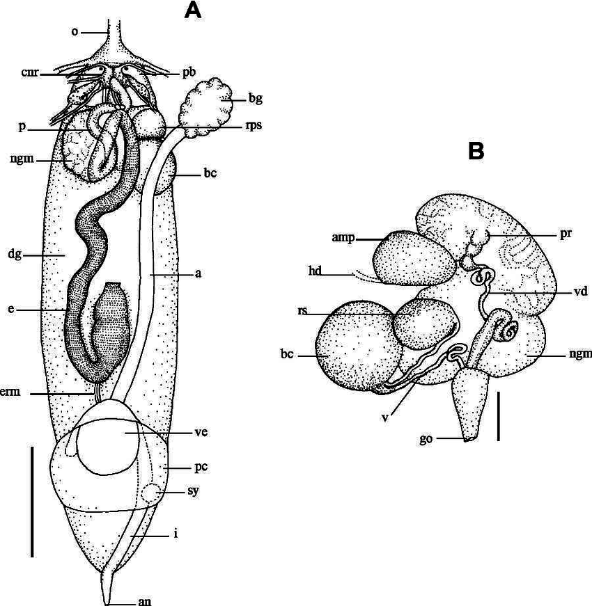 Phyllidiopsis krempfi . A, Diagram of the internal anatomy