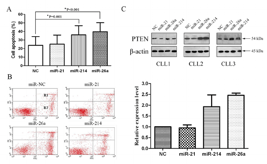 miR-26a and miR-214 inhibitors up-regulate PTEN protein