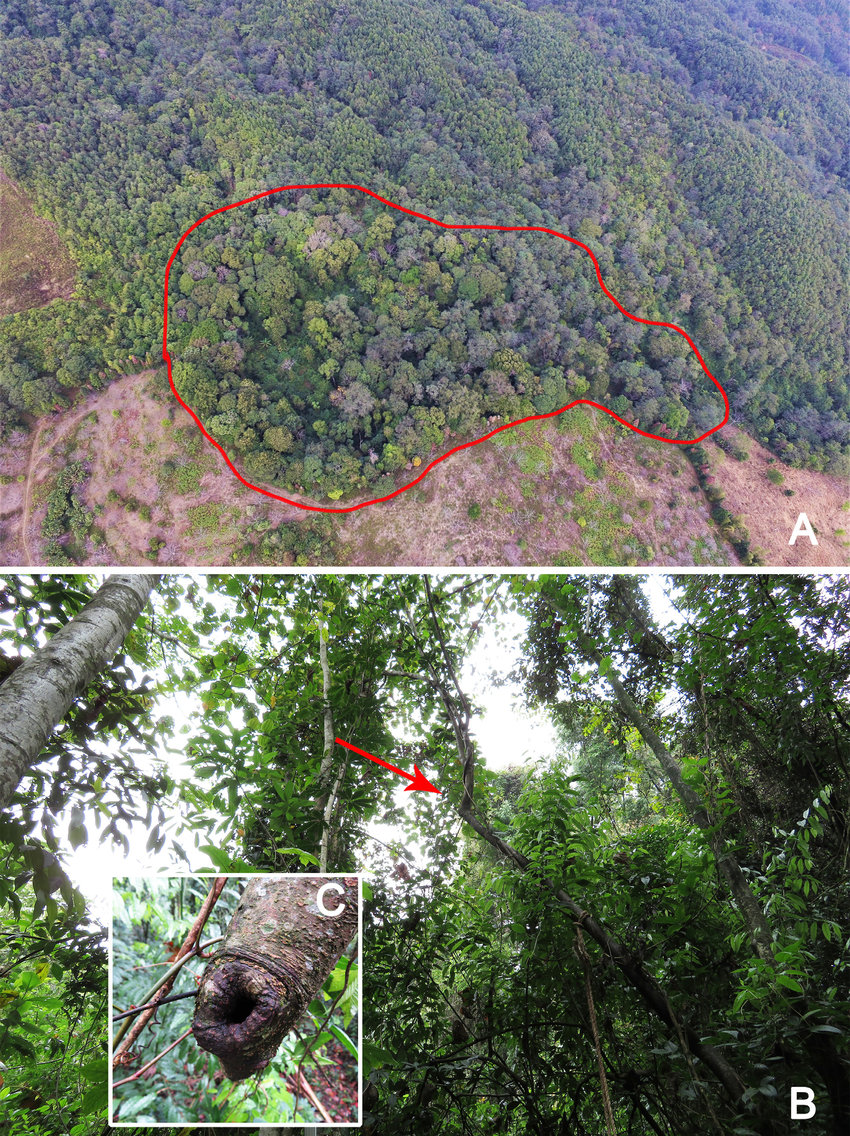 hight resolution of  a type locality mature evergreen montane forest fragment surrounded by farmland cleared forest and betula alnoides timber plantation b microhabitat of