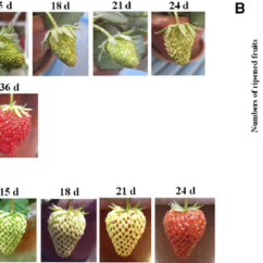 Strawberry Fruit Diagram 1971 Toyota Land Cruiser Wiring Effect Of Temperature On Development And Ripening. A,... | Download Scientific ...