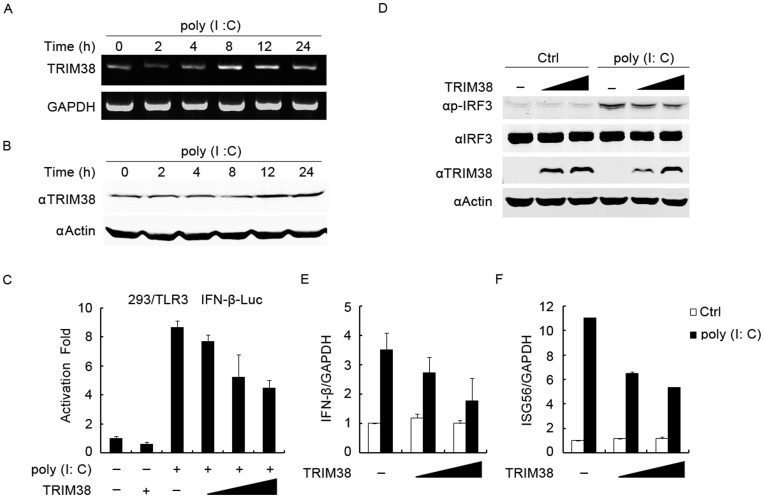 (A) Expression of TRIM38 mRNA in HeLa cells treated with