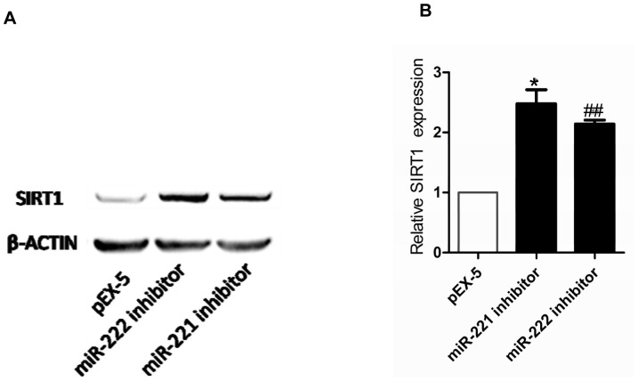 (A) Expression of SIRT1 protein levels in PC-3 cells after