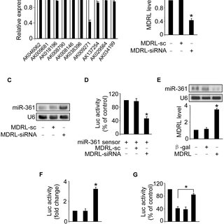 (PDF) MDRL lncRNA Regulates the Processing of miR-484