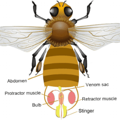 Hornet Anatomy Diagram Led Wiring Of The Honeybee S Stinger Apparatus Resides In Download Scientific