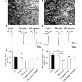 (PDF) Microglia-Derived Purines Modulate Mossy Fiber