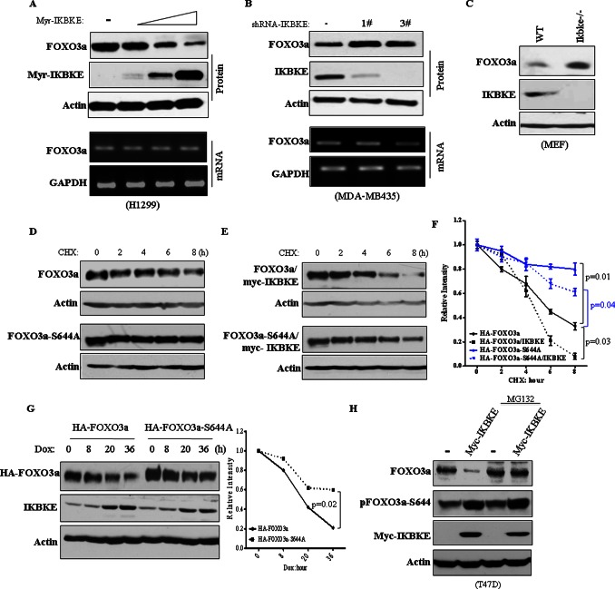 (A) Expression of constitutively active IKBKE reduces