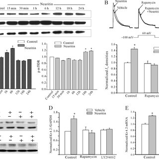 Effect of neuritin on IR or IGF-1 receptor activation in