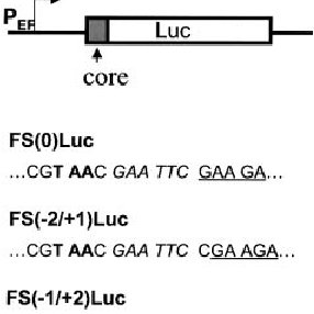 The HCV core protein sequence and its overlapping coding