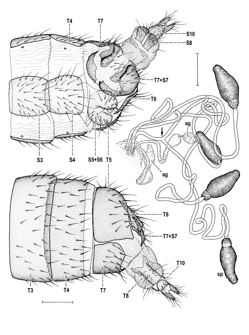 medium resolution of monstrosities in anthomyzidae 7 anthomyza gracilis fall n slovakia download scientific diagram