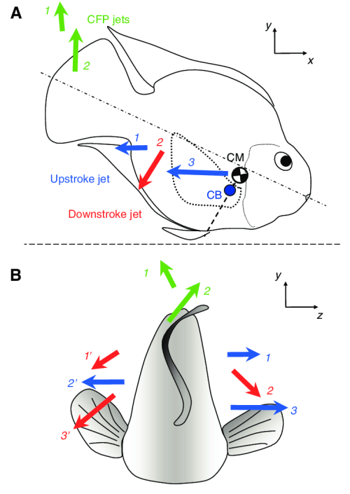 small resolution of schematic drawings not to scale that illustrate the fluid jets generated by a caudal
