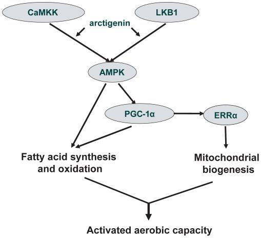 Arctigenin induced AMPK phosphorylation via CaMKK and LKB1