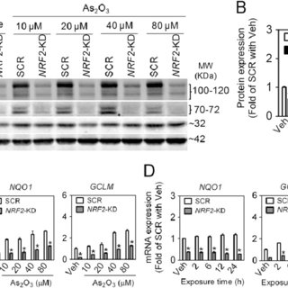 Stable knockdown of KEAP1 expression by lentiviral shRNA