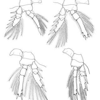 Triconia denticula sp. nov. Female (holotype): (A) P1