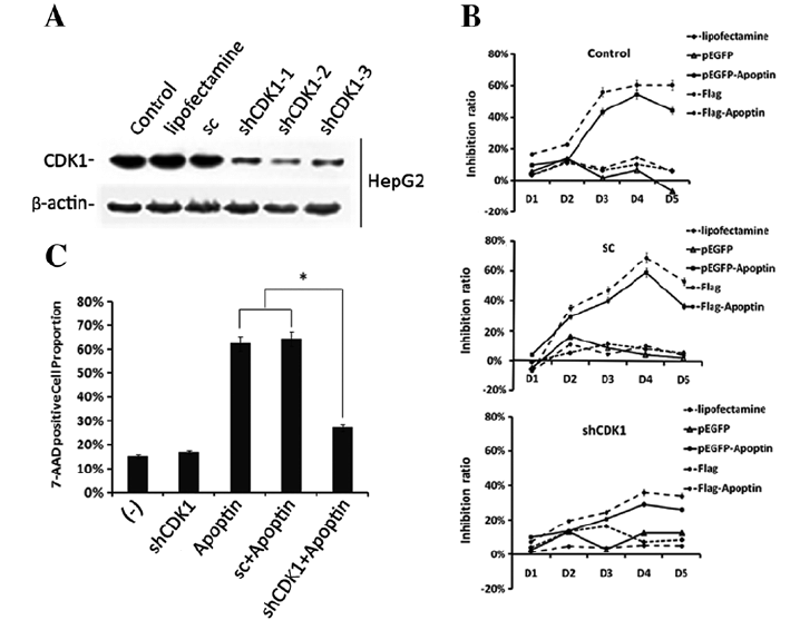 shCDK1-mediated knockdown of CDK1 activity effectively