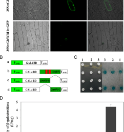 subcellular localization and transcriptional activation analysis of ghwri1 protein a subcellular localization of ghwri1 protein in onion epidermal cells  [ 850 x 1128 Pixel ]