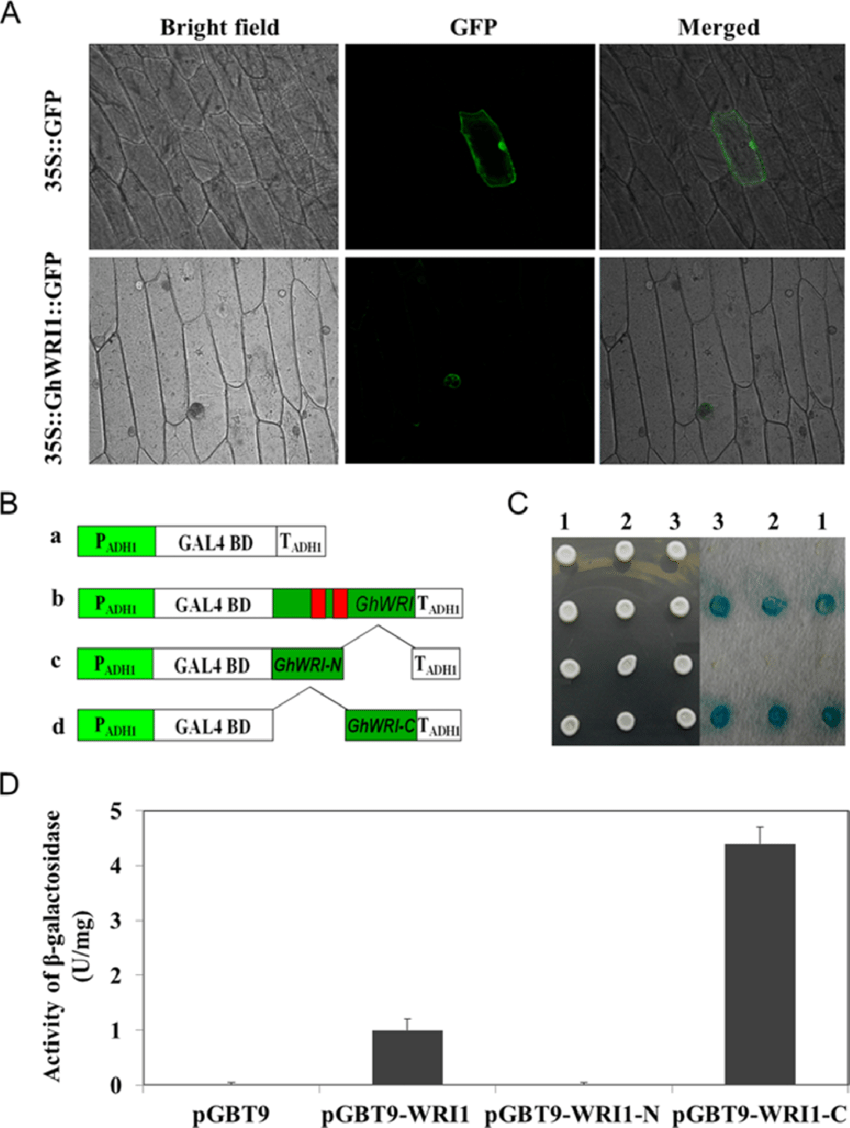 medium resolution of subcellular localization and transcriptional activation analysis of ghwri1 protein a subcellular localization of ghwri1 protein in onion epidermal cells