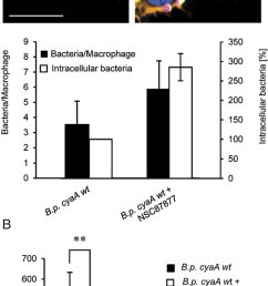 shp 1 inhibition abrogates survival of b pertussis inside macrophages download scientific diagram [ 663 x 1352 Pixel ]
