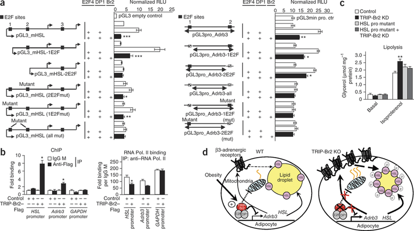 TRIP-Br2–Flag represses HSL and Adrb3 gene expression by