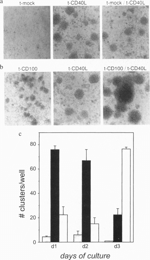 small resolution of cd100 transfectants stimulate b cell aggregation aggregates of human download scientific diagram