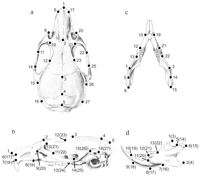 Mouse skull and landmarks used in EDMA. Schematic views of