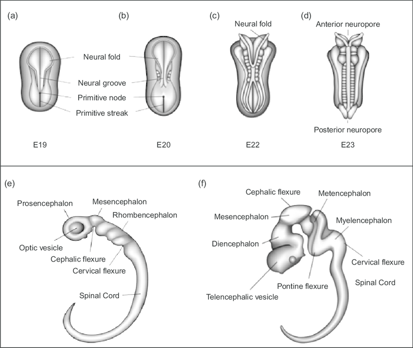 Changes in the morphology of the embryo in the embryonic