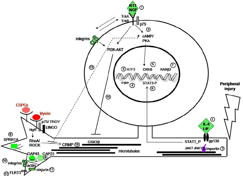 l Signaling pathways involved in peripheral axon