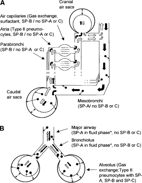 small resolution of respiratory airflow in avian and mammalian lungs filled and open arrows denote direction of air