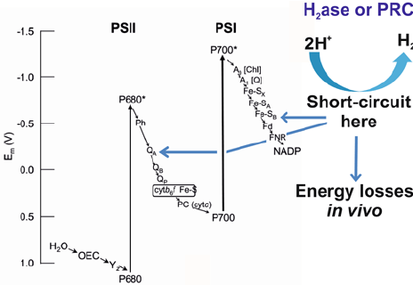 Energy losses and dissipation in photosynthesis. Much of