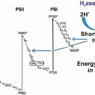 Carbon concentrating mechanisms, carbon fixation pathways