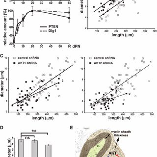(PDF) Dlg1-PTEN Interaction Regulates Myelin Thickness to