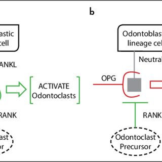 Representative scheme of RANK/RANKL/OPG system in the