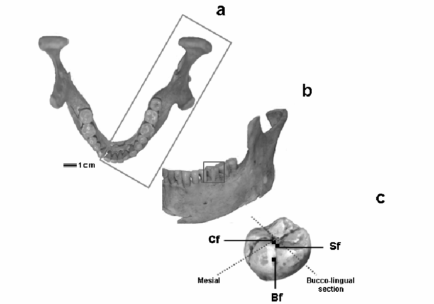 human mandible diagram simplicity prestige wiring superior a and left buccal view b of adult c schematic lower molar showing facets used for analysis microwear pattern