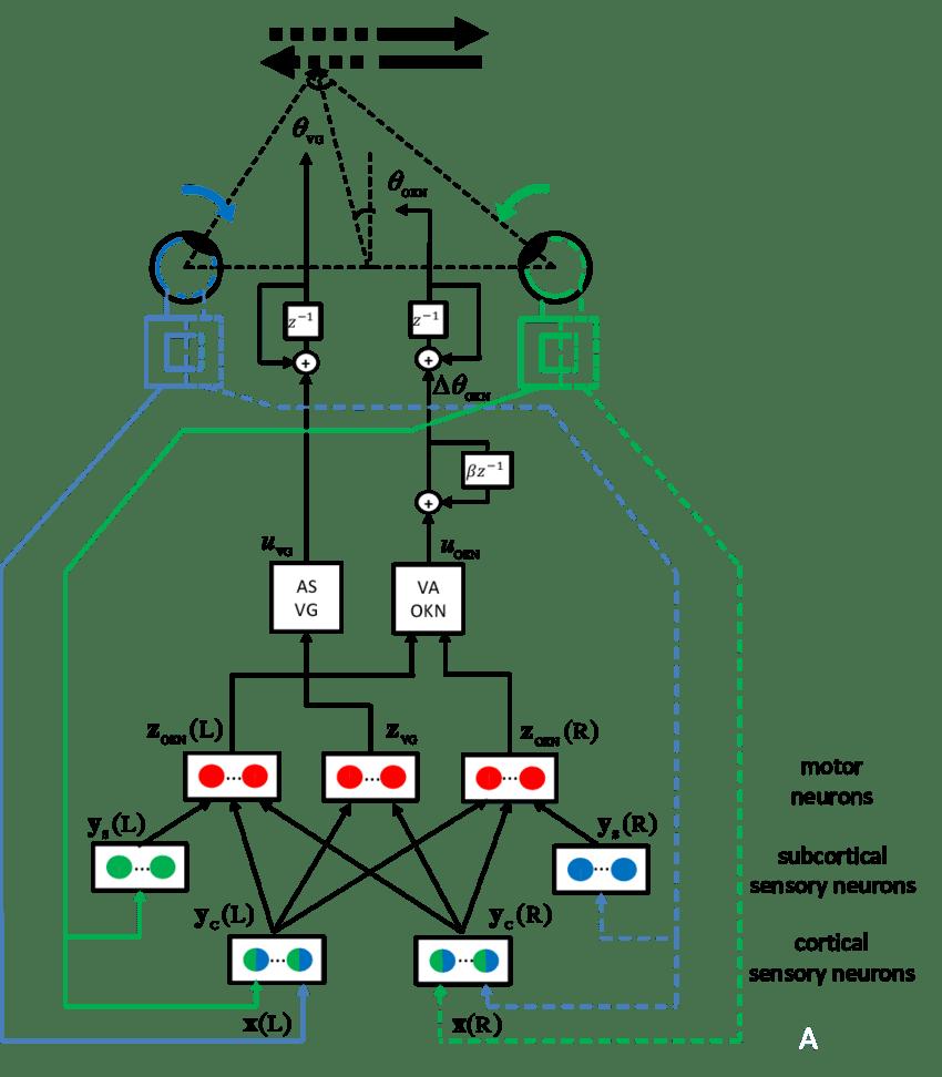 The developmental model the optokinetic reflex. Blue