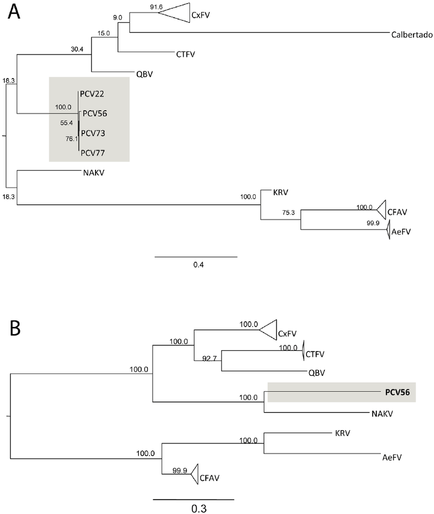 Phylogenetic tree showing relationship between PCV and