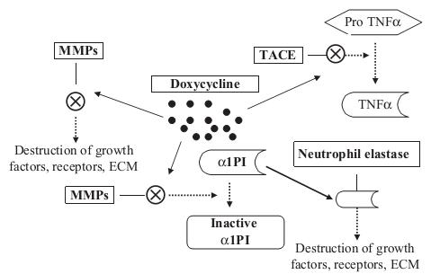 The mechanism of Doxycycline, digoxin, 1, Doxycycline's effects are ...
