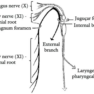 (PDF) Anatomy and evolution of accessory nerve: Cranial or