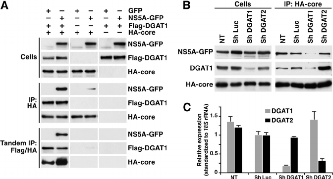 DGAT1 is required for interaction of NS5A and core and